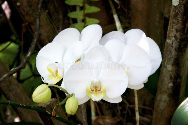 Orchidées blanches sauvages colorées dans la forêt avec des bourgeons images stock