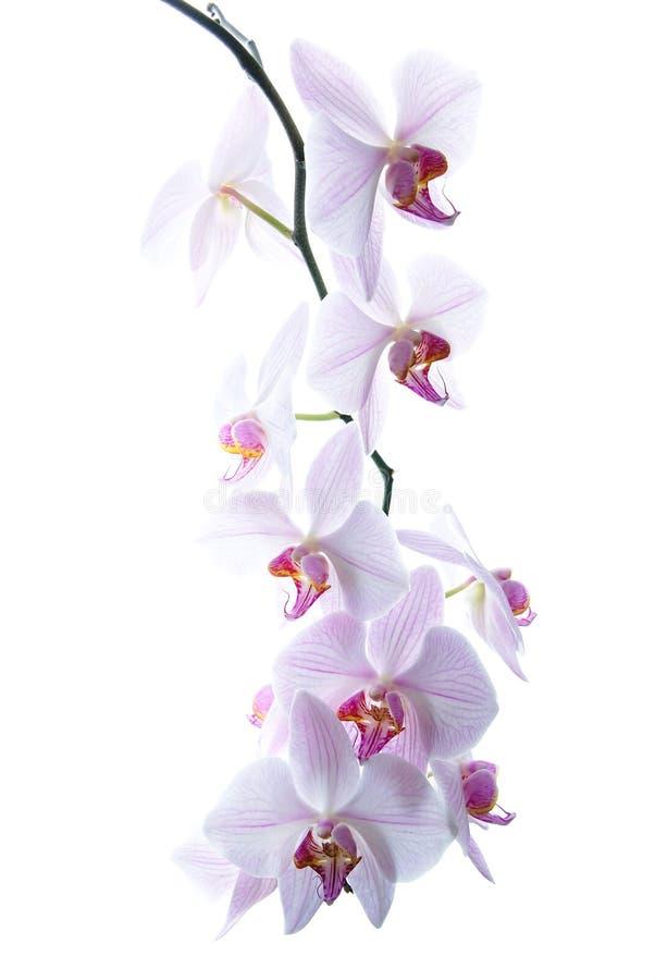 Orchidées d'isolement images stock