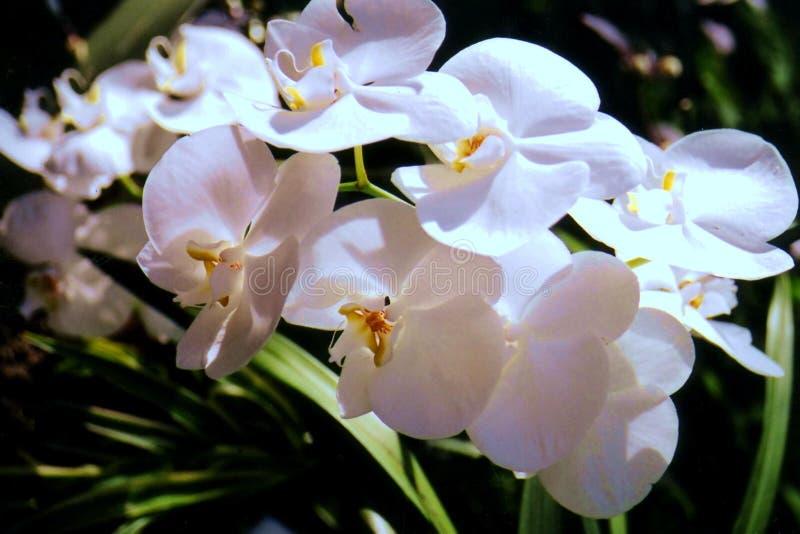 Orchidées d'oxalide petite oseille photo stock