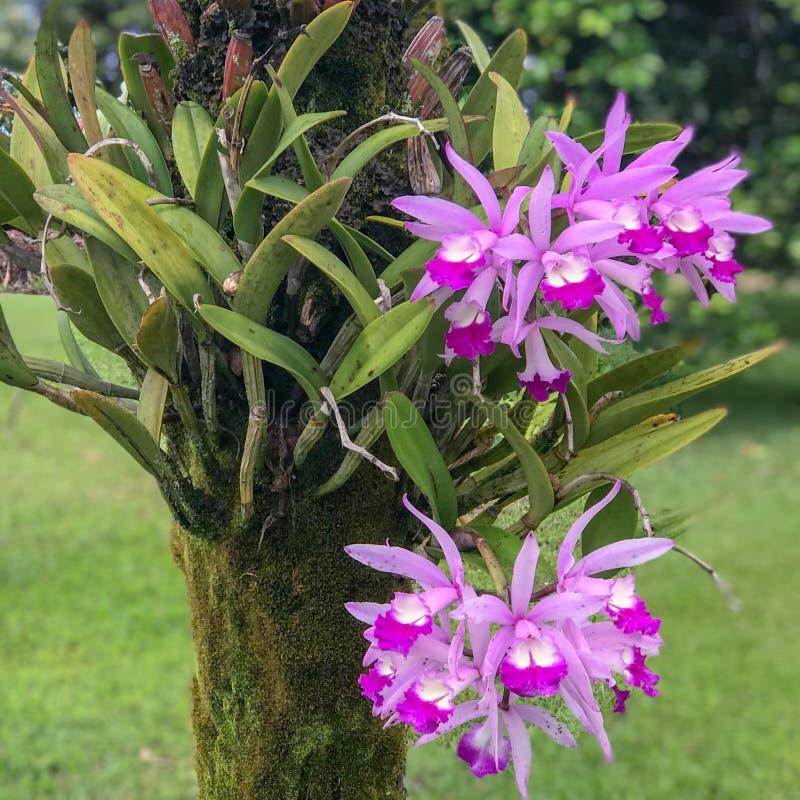 Orchidées dans les jardins botaniques de Princeville, Kauai, Hawaï LES Etats-Unis photographie stock