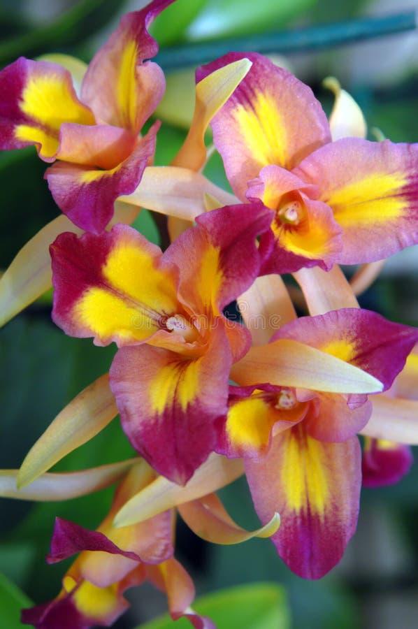 Orchidées de ferme photo libre de droits