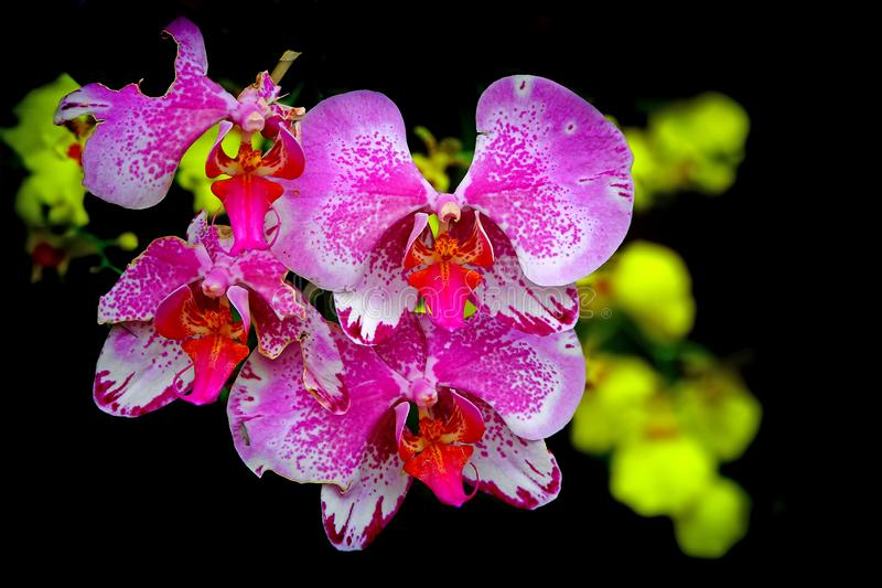 Orchidées de mite roses sur le fond foncé photographie stock libre de droits