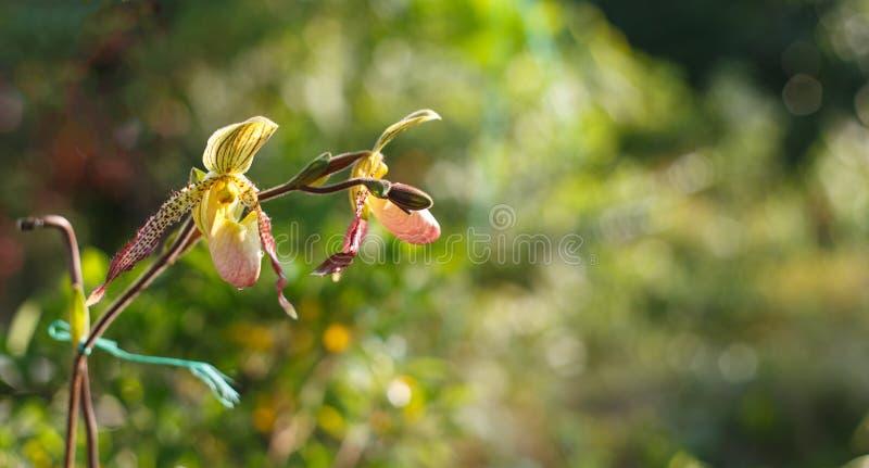 Orchidées de pantoufle de Madame image stock