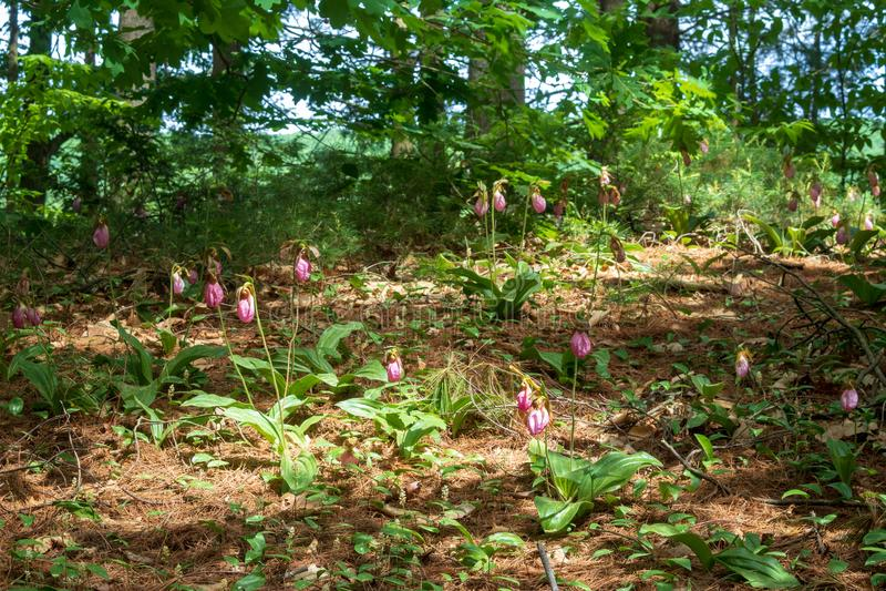Orchidées de pantoufle sauvages du ` s de dame en fleur photos stock