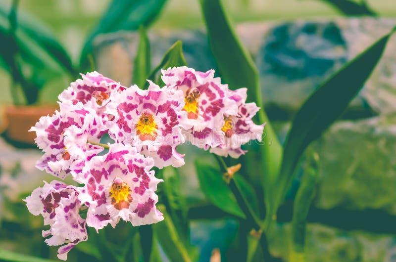 Orchidées 'de pays du nord' d'Odontoglossum CRISTOR images libres de droits