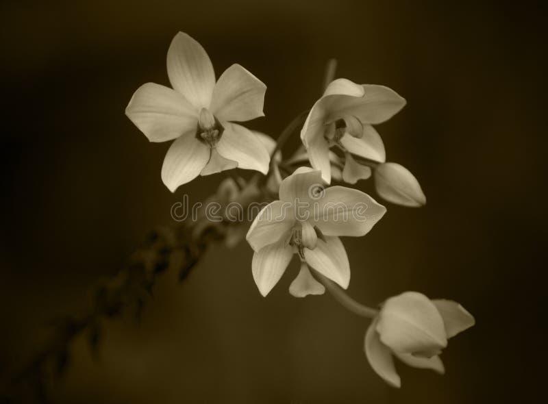 Orchidées de sépia image stock