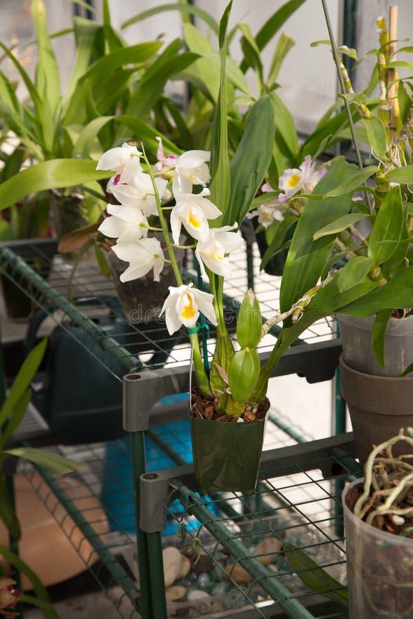 Orchidées en serre chaude de jardin photographie stock