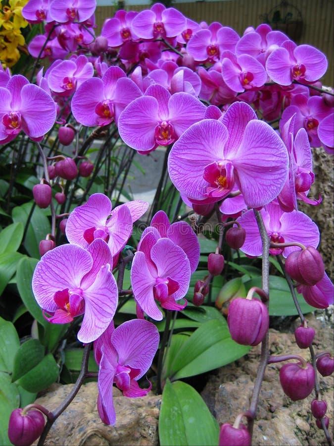 Orchidées et bourgeons pourprés images stock