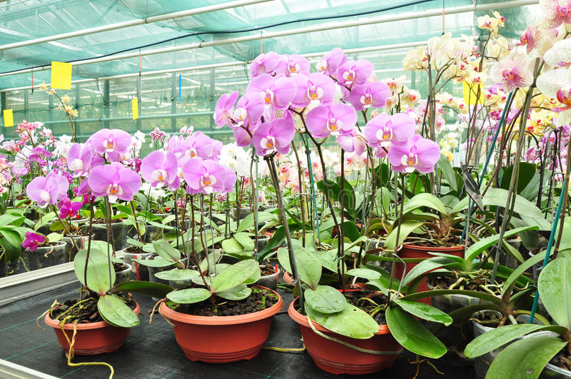 Orchidées grandissantes en serre chaude photo stock