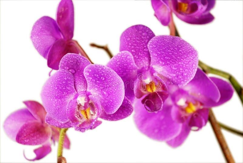 Orchidées humides pourprées photo libre de droits
