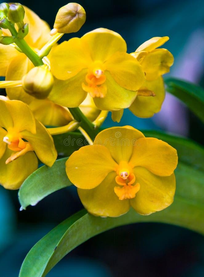 Orchidées jaunes photos stock