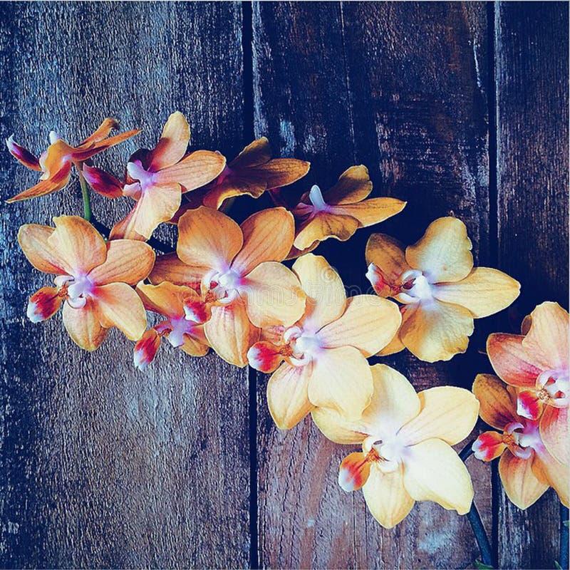 Orchidées jaunes photo stock