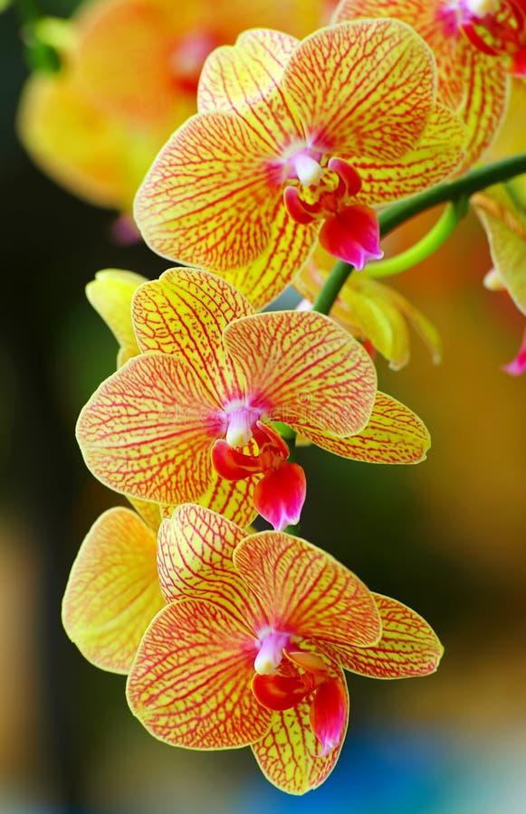 Orchidées jaunes d'or vibrantes de phalaenopsis photographie stock