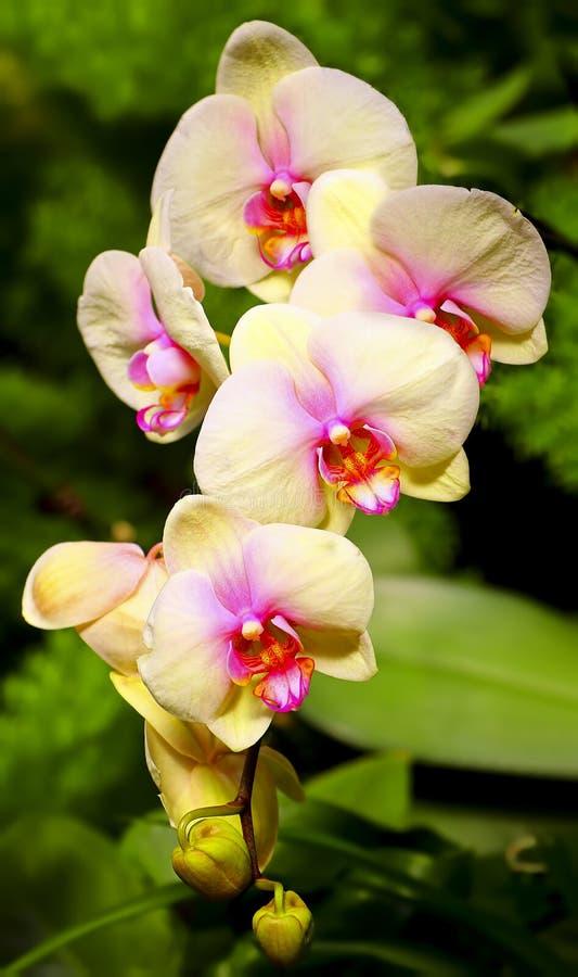 Orchidées jaunes vibrantes image libre de droits