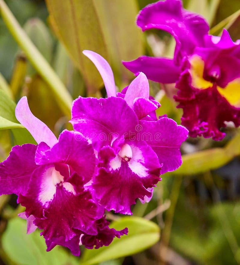 Orchid es pourpres orchid es violettes l 39 orchid e est reine des fleurs orchid e dans le jardin - Symbole de l orchidee ...