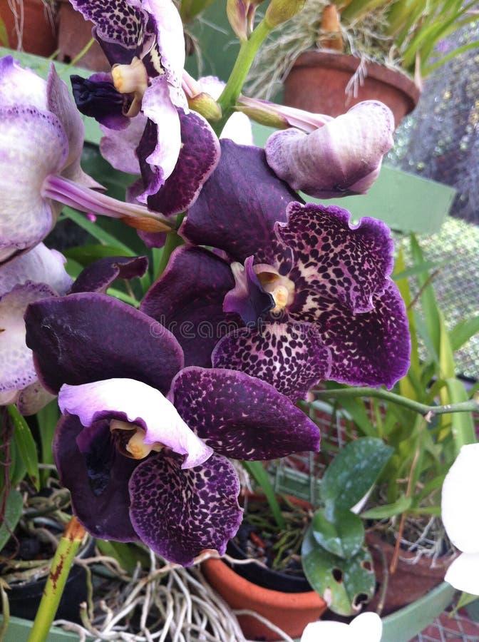 Orchidées pourpres une autre création artistique de mère nature photos stock