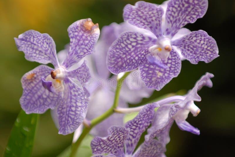 Orchidées repérées violacées photographie stock