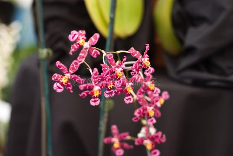Orchidées : Rose minuscule photographie stock