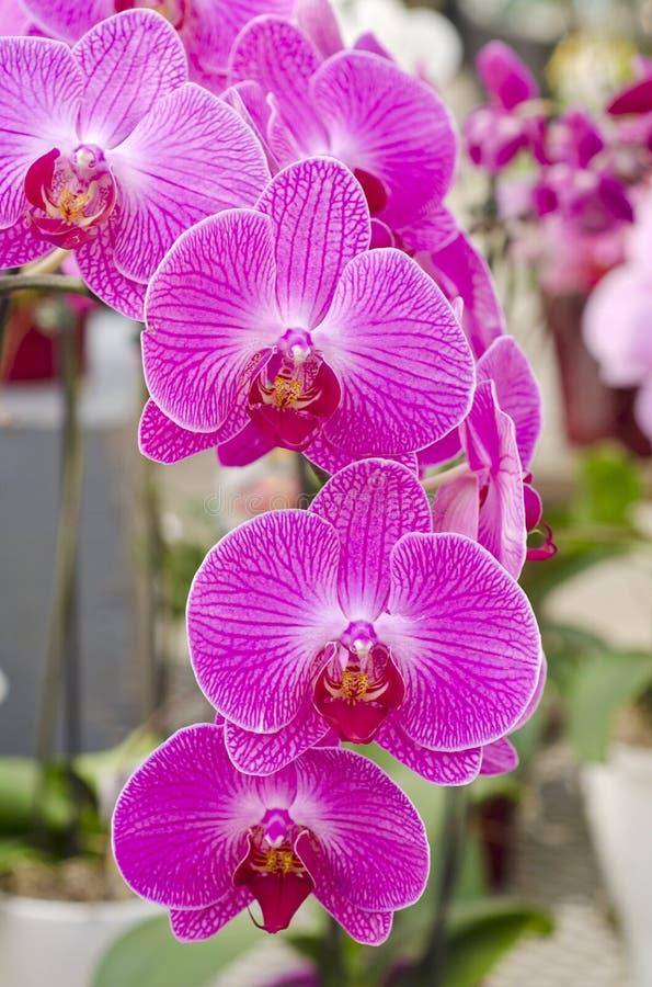 Orchidées roses photo libre de droits