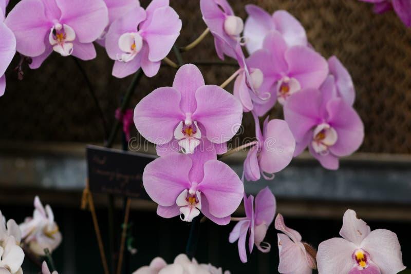 Orchidées roses avec le centre blanc photographie stock libre de droits