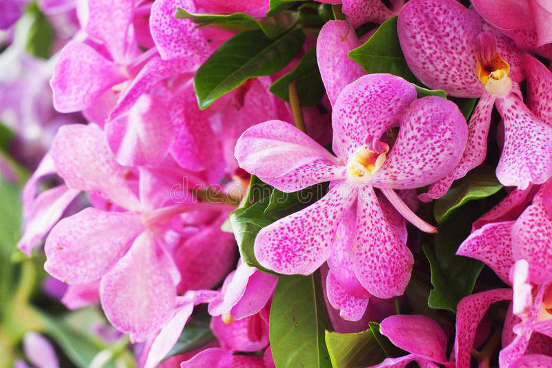 Orchidées roses de mokara photos stock