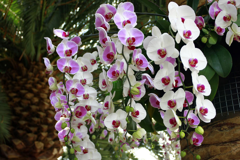Orchidées roses et blanches images libres de droits