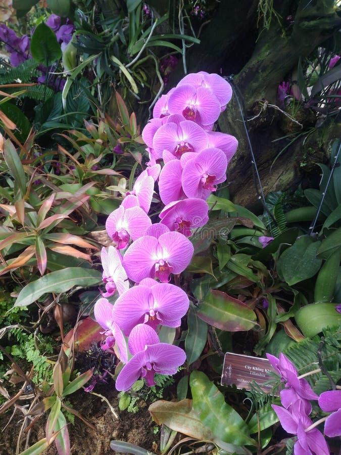 Orchidées roses, une belle fleur exotique, image stock