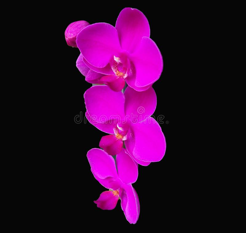 Orchidées roses vives de Phalaenopsis sur un fond noir dramatique photo stock