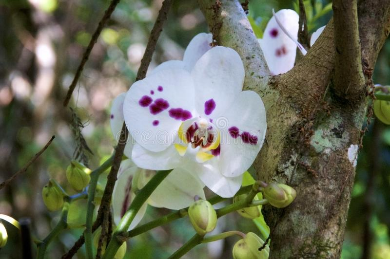 Orchidées sauvages colorées dans la forêt avec des bourgeons photo stock