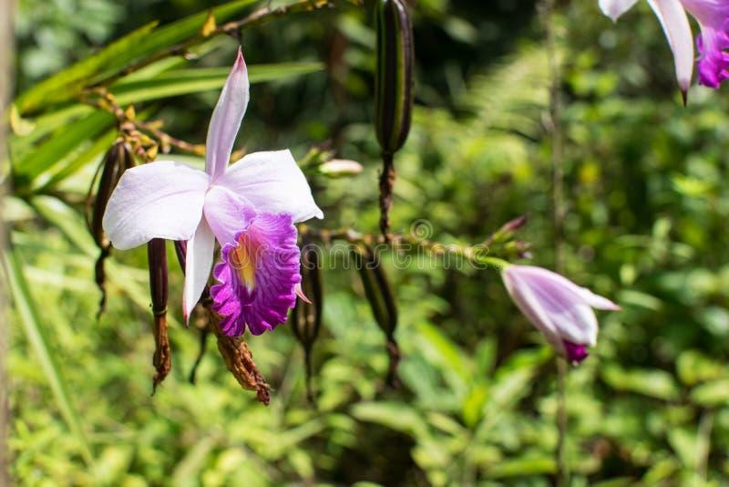 Orchidées sauvages pourpres avec le fond vert photo stock