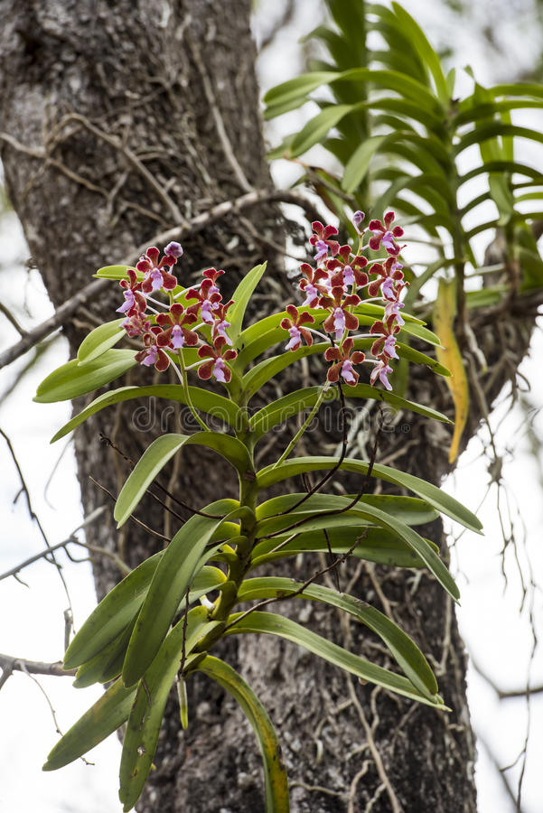 Orchidées sauvages sur l'arbre photos stock