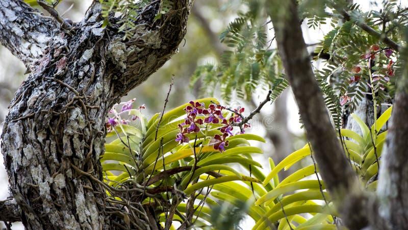 Orchidées sauvages sur l'arbre photographie stock libre de droits