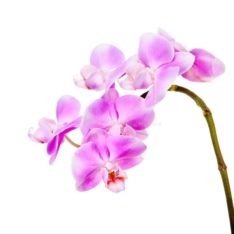 orchid ανασκόπησης ρόδινο λευ& στοκ φωτογραφίες με δικαίωμα ελεύθερης χρήσης