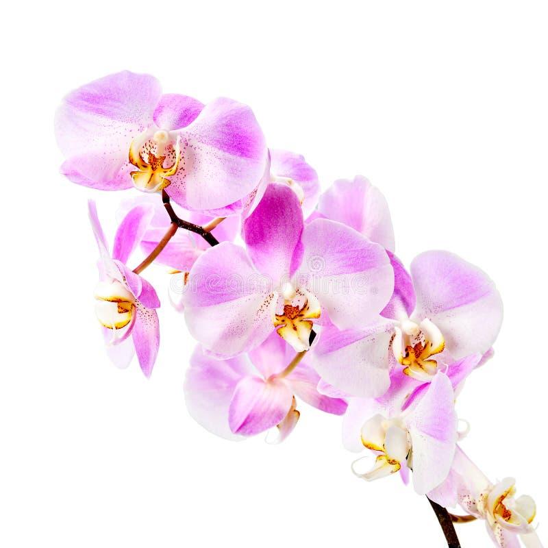 orchid ανασκόπησης ρόδινο λευ& στοκ εικόνα