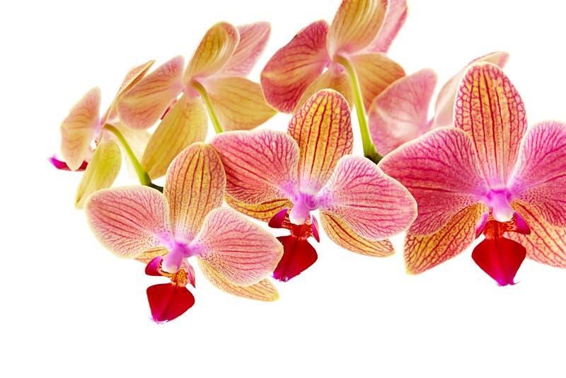orchid ανασκόπησης ρόδινο λευ& στοκ φωτογραφία με δικαίωμα ελεύθερης χρήσης