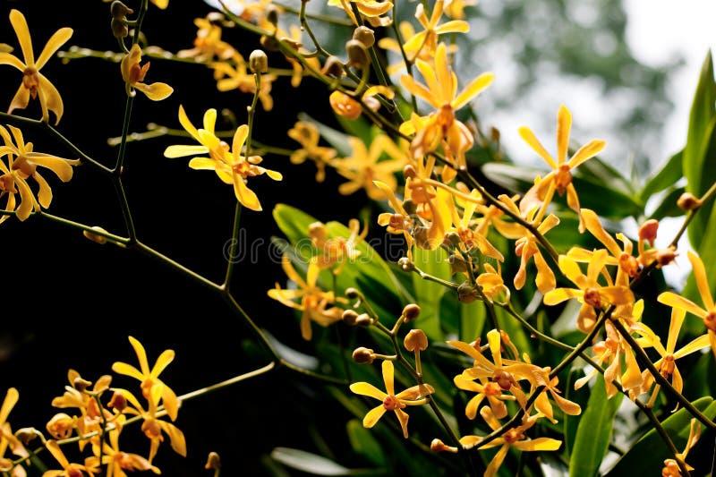 orchid β nilotica africana στοκ φωτογραφίες με δικαίωμα ελεύθερης χρήσης