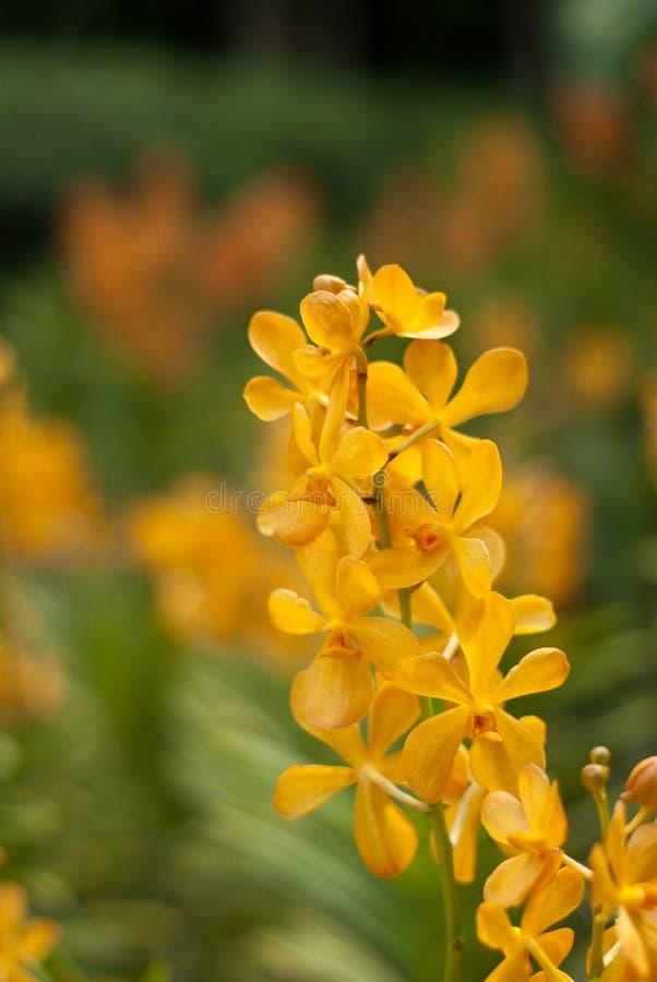 orchid β nilotica africana στοκ φωτογραφία με δικαίωμα ελεύθερης χρήσης