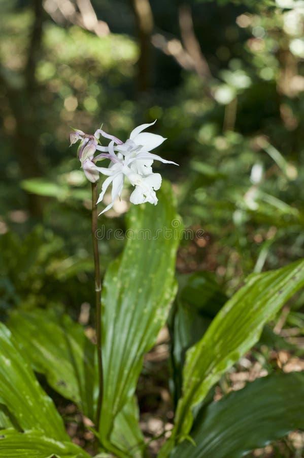 orchid εδάφους λουλουδιών άνθισης δασικές άγρια περιοχές στοκ φωτογραφίες με δικαίωμα ελεύθερης χρήσης