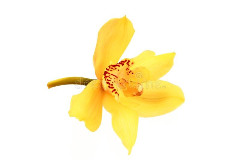 orchid κίτρινο στοκ εικόνα