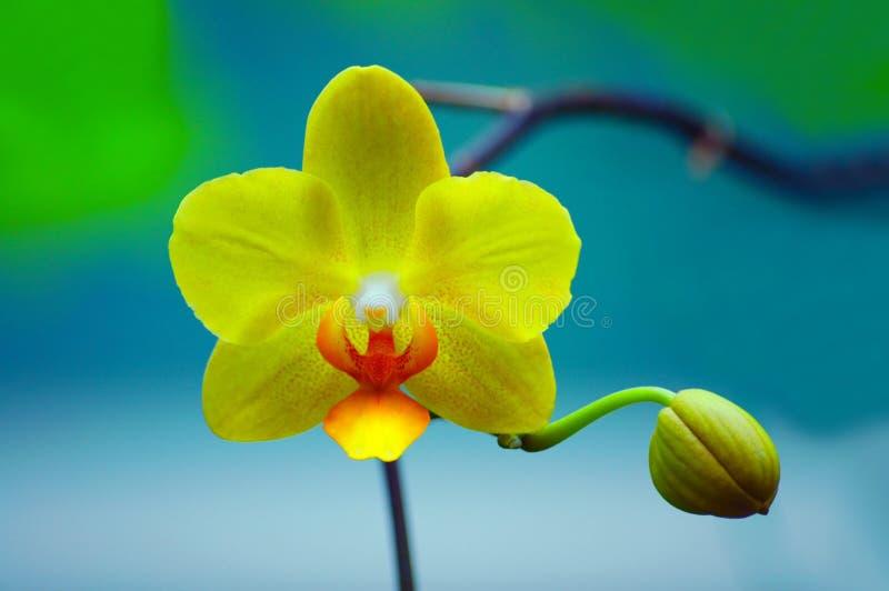 orchid κίτρινο στοκ εικόνα με δικαίωμα ελεύθερης χρήσης
