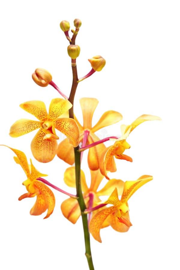 orchid κίτρινο στοκ φωτογραφία