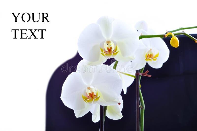 orchid λευκό ειρήνης στοκ φωτογραφίες