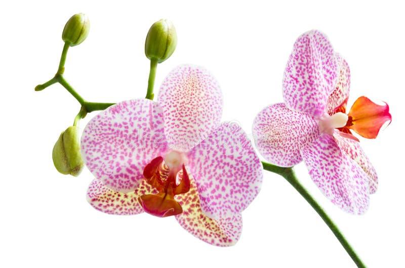 orchid λευκό στοκ εικόνα