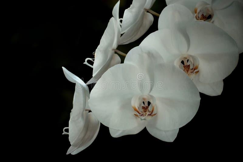 orchid λευκό στοκ φωτογραφία