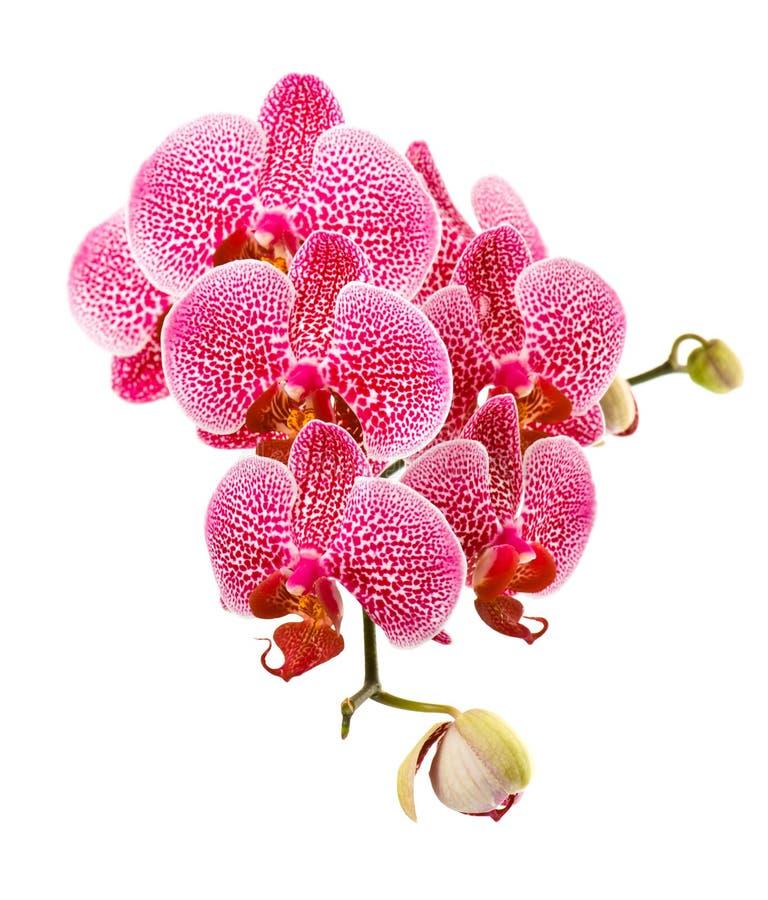 orchid λουλουδιών ανασκόπησης λευκό στοκ εικόνες με δικαίωμα ελεύθερης χρήσης