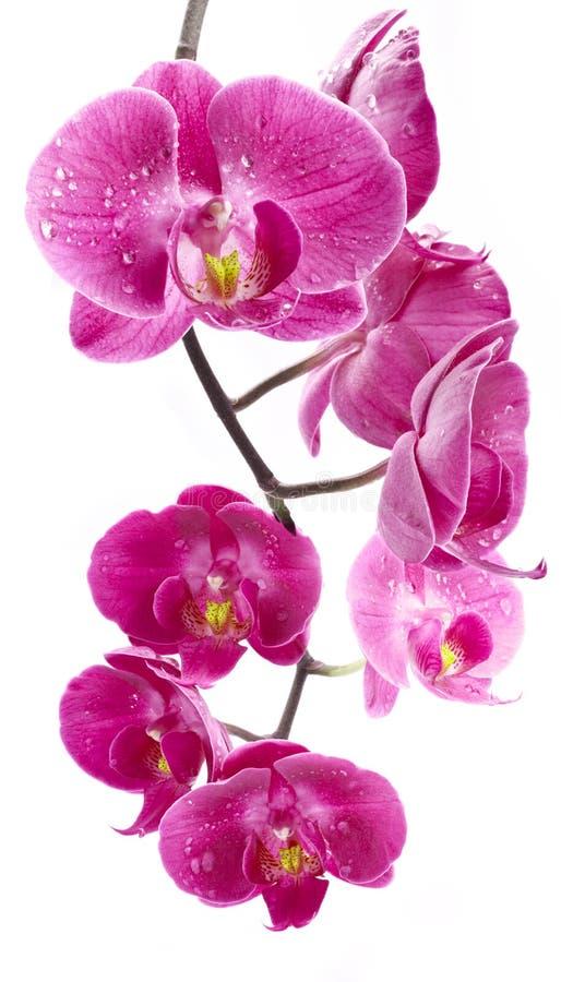 orchid λουλουδιών απελευθερώσεων ύδωρ στοκ εικόνες