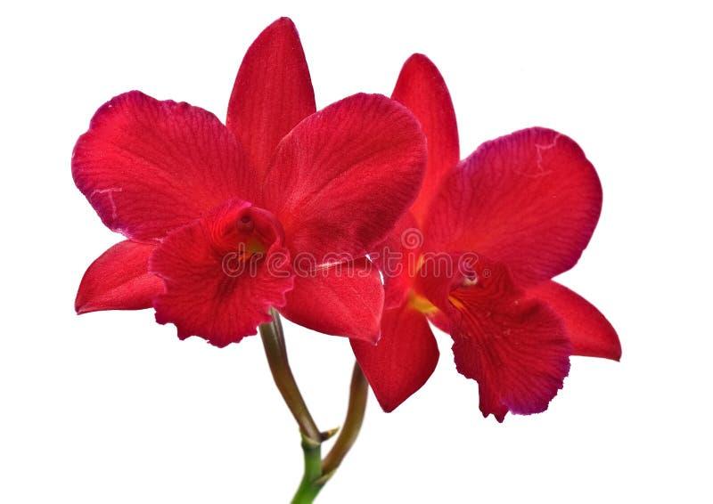 orchid λουλουδιών κόκκινο στοκ εικόνες με δικαίωμα ελεύθερης χρήσης