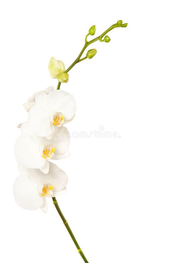 Download Orchid λουλουδιών στοκ εικόνες. εικόνα από λουλούδι, χλωρίδα - 22783898