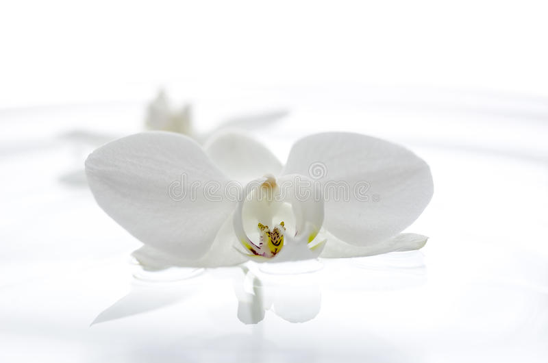 Orchid λουλούδι που επιπλέει στο νερό στοκ εικόνες