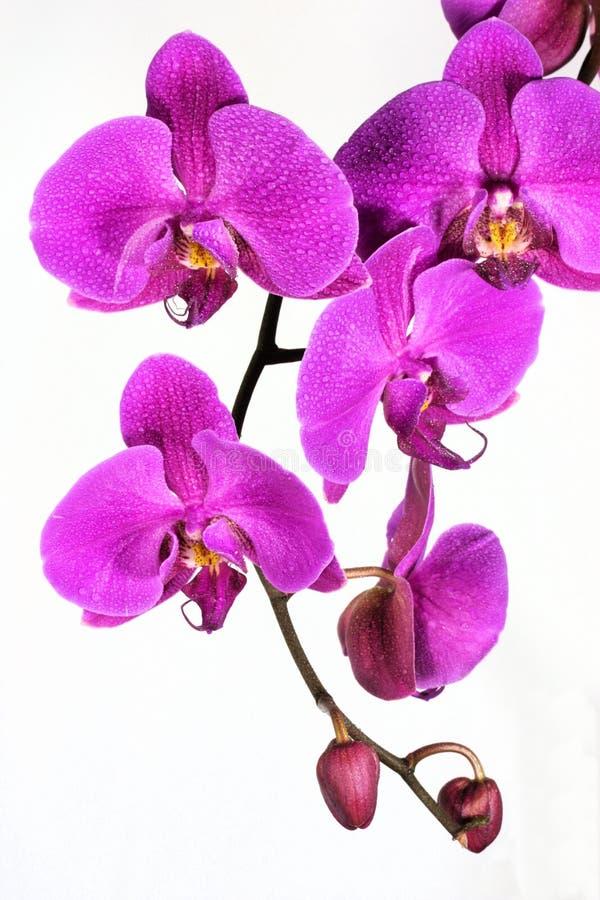 orchid ομορφιάς στοκ εικόνες με δικαίωμα ελεύθερης χρήσης
